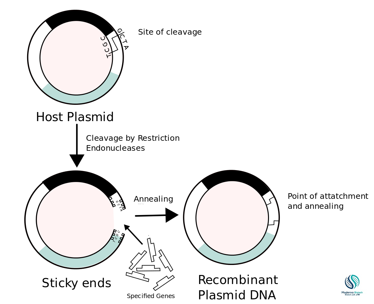 What are the steps of recombinant dna technology